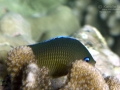 Blue-eyed Damselfish