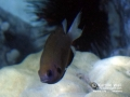Chocolate Chromis