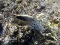 _Blackside Hawkfish