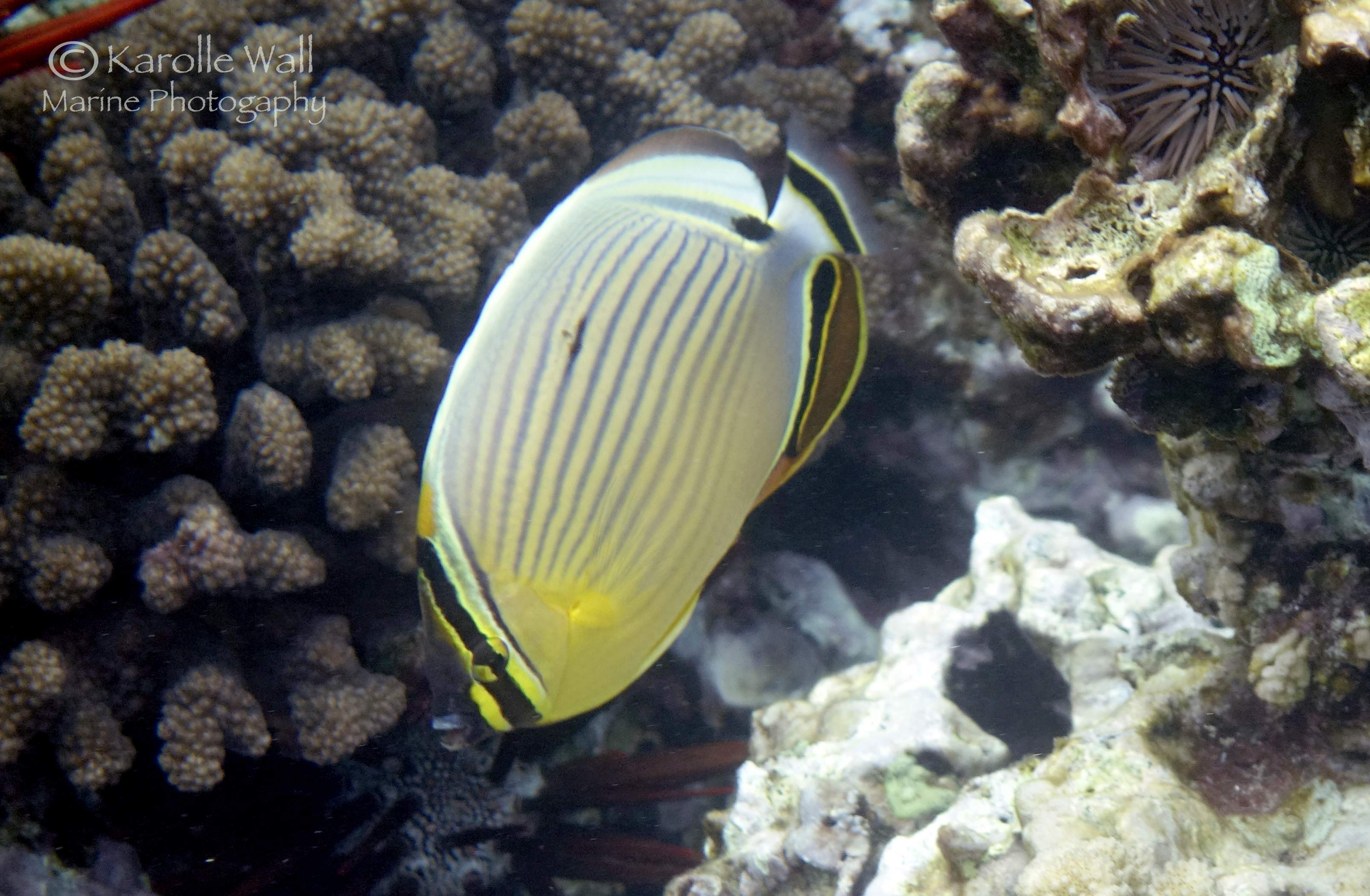 Oval butterflyfish - photo#19