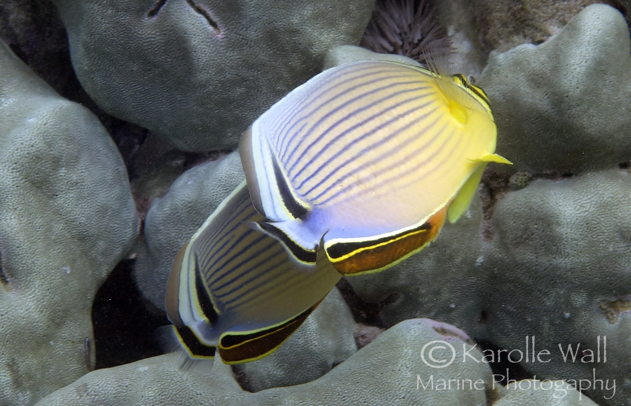 Oval butterflyfish - photo#7