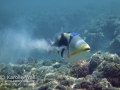 Lagoon Triggerfish -- spewing sand from gills