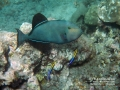 Black Durgon and Hawaiian Cleaner Wrasses