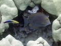 Bluelined Surgeonfish and Hawaiian Cleaner Wrasse