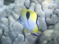 Teardrop Butterflyfish and Hawaiian Cleaner Wrasse