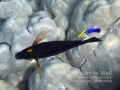 Goldring Tang and Hawaiian Cleaner Wrasse