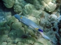barred-filefish-and-cleaner-wrasse-exc-wm-jpg