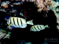 Convict Tang and Hawaiian Cleaner Wrasse