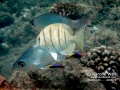 Hawaiian Cleaner Wrasses, Convict Tang and Flagtails