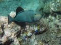 dscn0626-black-surgeonfish-two-cleaner-wrasse-6x4-excwm-jpg