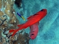 Two Bigscale Soldierfish and Hawaiian Cleaner Wrasse