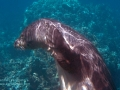 Hawai'ian Monk Seal Scratching Her Head
