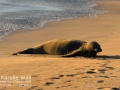 Monk Seal Basking in Setting Suni