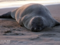 Hawaiian Monk Seal Basking in Setting Sun