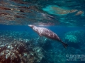 Hawaiian Monk Seal Breathing