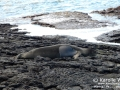 Hawaiian Monk Seal Resting on Rocks