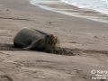 Hawaiian Monk Seal Molting