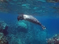Hawaiian Monk Seal Scratching Head
