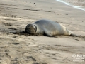 Hawaiian Monk Seal -- Last Days of Molting