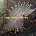 white and orange tipped nudibranch on sargassum still title wm
