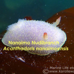 Nanaimo Nudibranch