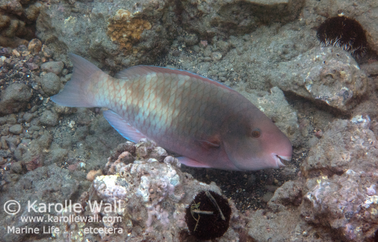 DSC03976 spectacled parrotfish female in transition wm