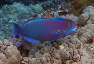 spectacled parrotfish excWM