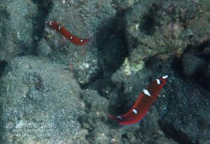 Two Juvenile Yellowtail Coris