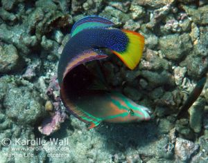 Male Yellowtail Coris