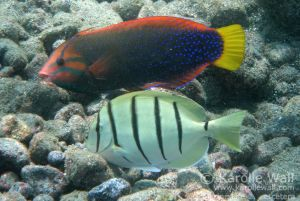 Female Yellowtail Coris %26 Convict Tang
