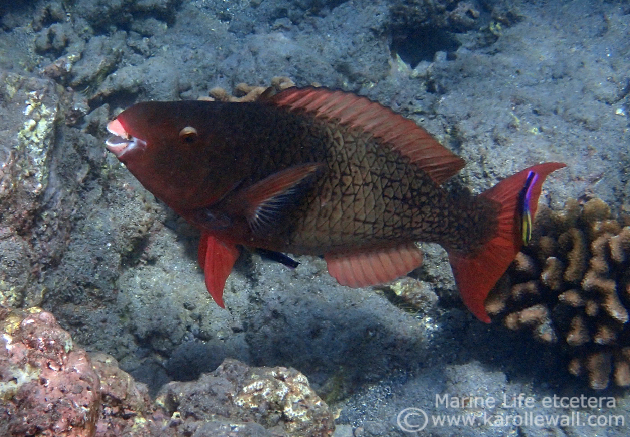 Female & Juvenile Ember or Redlip Parrotfish