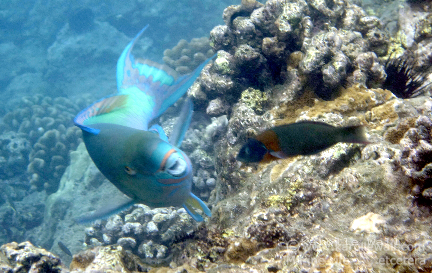 Male Ember or Redlip Parrotfish
