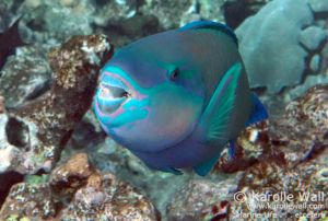 Bullethead Parrotfish, Male