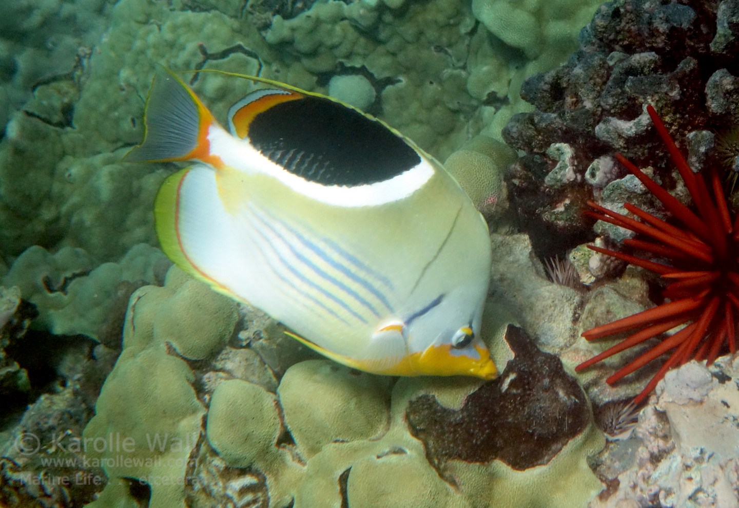 Erfly Fish | What Do Butterfly Fish Eat Images Lobster And Fish