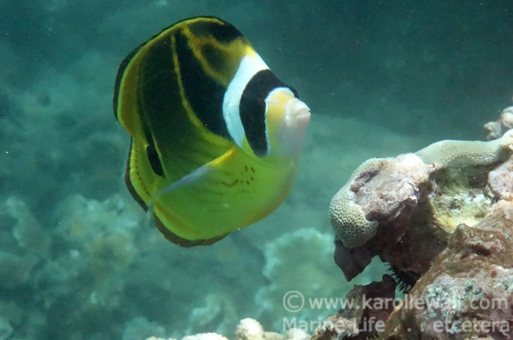 DSC02696small racoon butterflyfish wm.jpg
