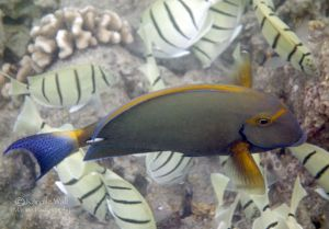 Eyestripe or Whitespine Surgeonfish With Convict Tangs