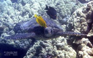 Yellow Tang and Goldring Surgeonfish Cleaning Green Sea Turtle