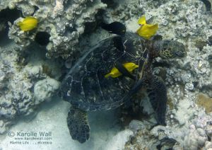 Green Sea Turtle at Cleaning Station