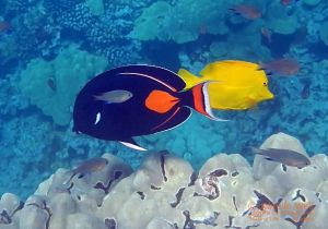 Achilles and Yellow Tang and Blackfin Chromis