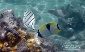 Juvenile Convict Tang and Juvenile Teardrop Butterflyfish