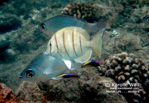 Convict Tang, Cleaner Wrasses and Flagtails