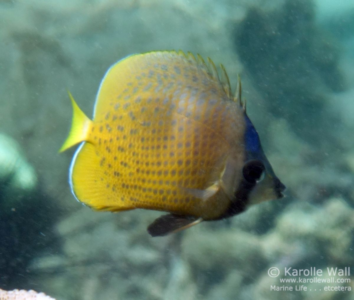 DSC06188 black lip butterflyfish wm.jpg