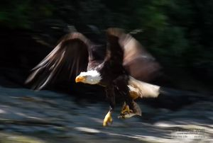 Eagle With Flounder in Talon