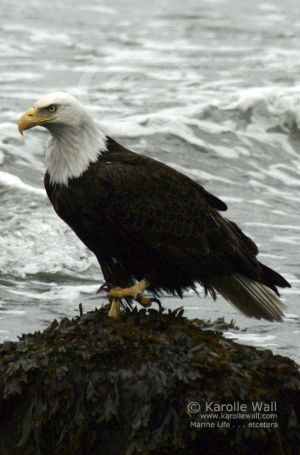 Eagle Fishing for Midshipman (frogfish)