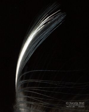 Heron Feather