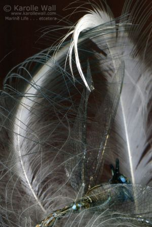Heron Feather  %26 Dragonfly